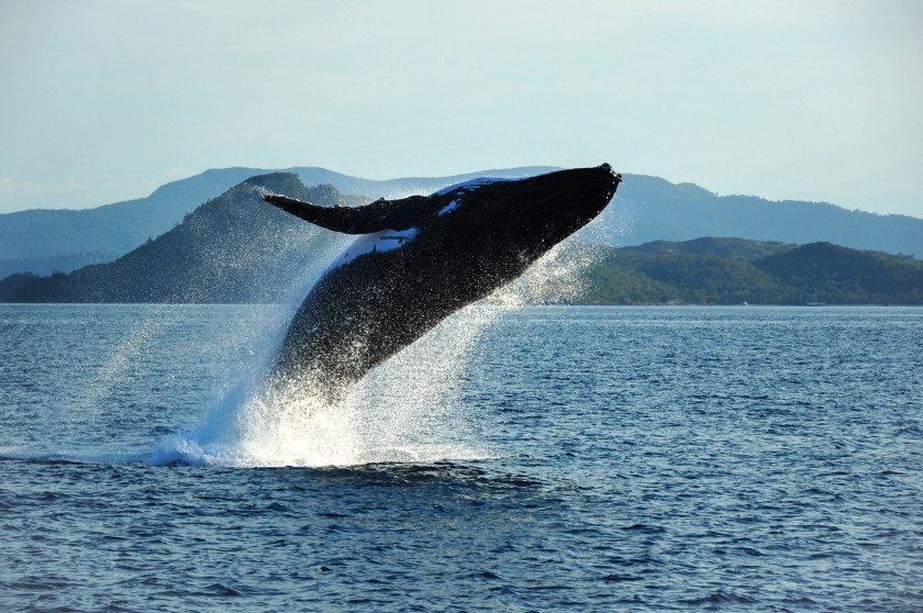 study in the US: humpback whale