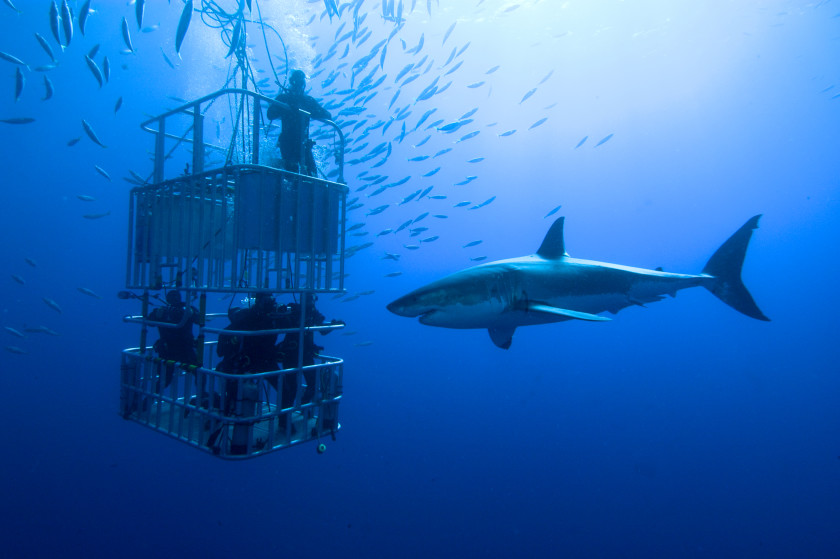study in australia: shark